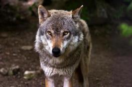 صدق أو لا تصدق.. ذئب وذئبة يهربان سويًا من حديقة حيوان