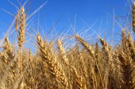 مصر تنوِّع خيارات القمح بعيدا عن روسيا.. وتركيا تتجه لتكون أكبر مستورد من موسكو