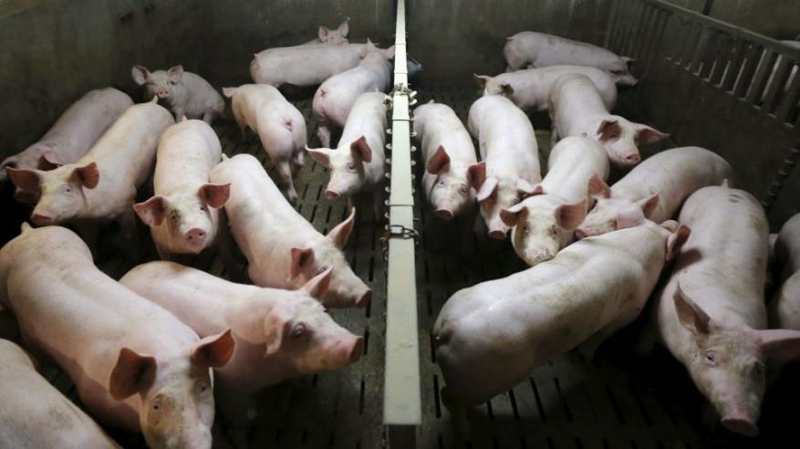 الصين تكتشف بؤرة جديدة لحمى الخنازير الإفريقية