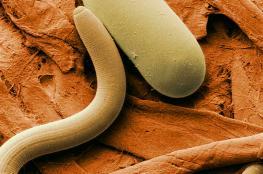 العلماء ينجحون في إعادة ديدان صغيرة للحياة بعد 42 ألف عام