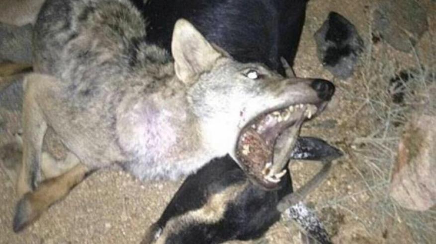 ماعز تقتل ذئباً بطريقة غريبة