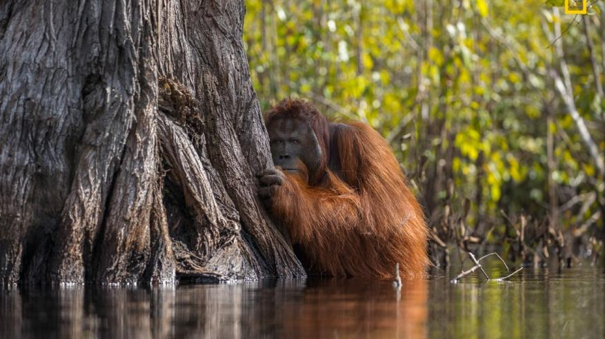 a-male-orangutan-peers-from-behind-a-tree-while-crossing-a-river-in-borneo-indonesia-1