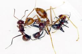 اكتشاف فصيلة جديدة من النمل الانتحاري