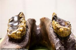 بالصور.. فك ضخم لفيل منقرض عاش قبل 10 آلاف سنة