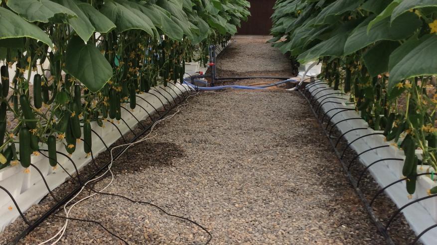 نبات المبردة درجة الحرارة 25 مئوية يظهر فيه صحة النبات في الصيف