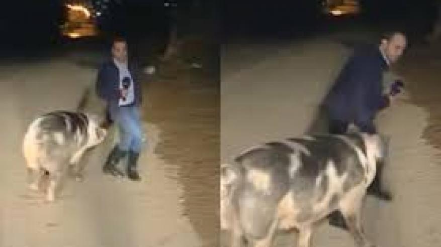 بالفيديو.. خنزير يطارد مراسل صحفي على الهواء مباشرة