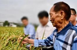 نجاح زراعة الأرز في صحراء دبي