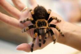 يشتري عنكبوتا لطرد أم زوجته من البيت!