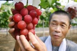 بالفيديو والصور.. أغلى أنواع العنب في العالم