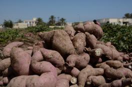 البطاطا أكبر من الإنسان بـ 800 ألف عام