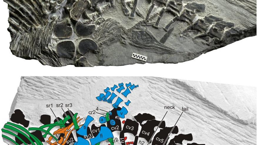 العثور على حفرية لوحش بحر عمره أكثر من 150 مليون عام