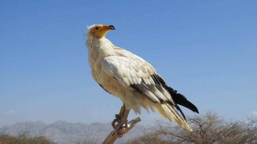 ESO - Egyptian Vulture Release (4)