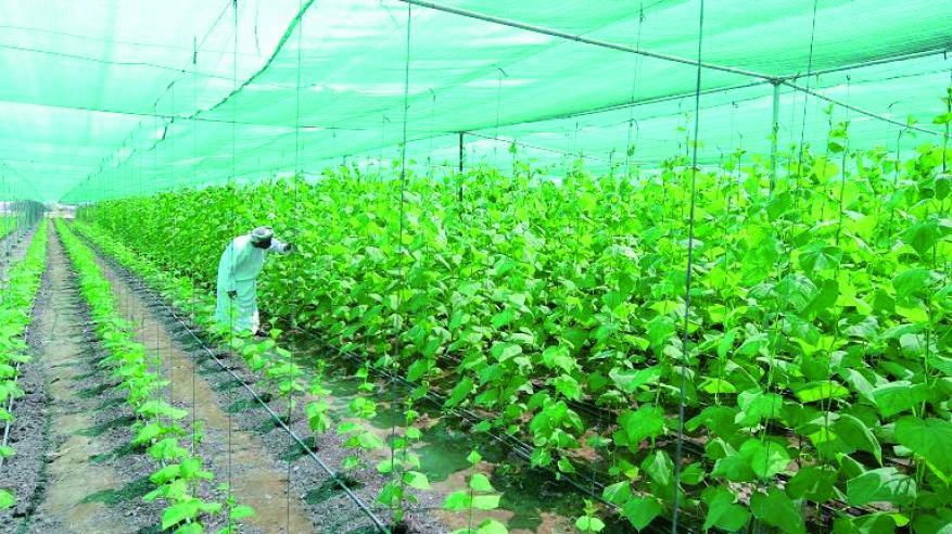 المساحة المزروعة بالسلطنة تصل إلى 259 ألف فدان بنسبة بزيادة 7.9%