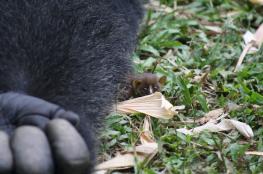 بالصور..غوريلا تتخذ حيوان الجلاجو الصغير أقرب صديق لها