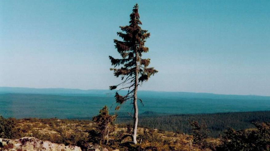 a345a34cc ff0504a45c_130095_old-tjikko-c-karl-brodowsky-wikipedia. طور متخصصون مؤشرًا  لحساب قيمة الشجرة بناءً على ...