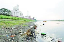 الشرطة الهندية تطارد القرود في تاج محل .. بالنبال