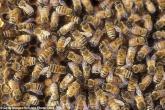 إناث النحل تضحي بنومها لرعاية اليرقات