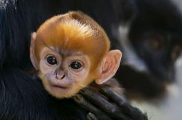 """بالصور.. ولادة القرد البرتقالي """"النادر للغاية"""""""