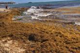 الطحالب البحرية تهدد القطاع السياحي في المكسيك وتنعش الابتكارات!