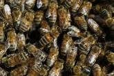بالفيديو: 80 ألف نحلة تعيش في غرفة منزل عائلة إسبانية