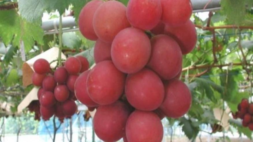 Ruby_roman_grapes