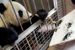 """""""الباندا الرسامة"""" تجذب أنظار زوار حديقة حيوان فيينا"""