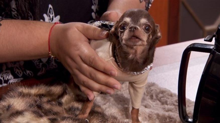 """محكمة تطلب مثول """"أصغر كلب في العالم"""" أمامها"""