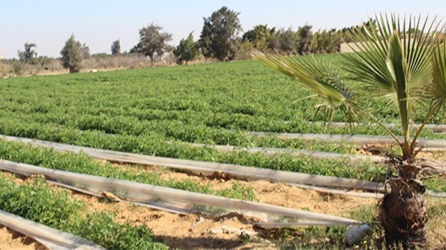 197.26 ألف فدان مساحات مزروعة بالسلطنة.. والإنتاج يفوق 1.77 مليون طن من المحاصيل