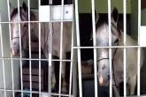 """بالفيديو.. حبس حصان بتهمة """"رفس"""" سيارة"""