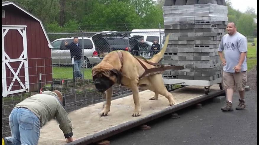 """بالفيديو.. كلاب تجر أثقال في منافسات """"قاسية"""""""