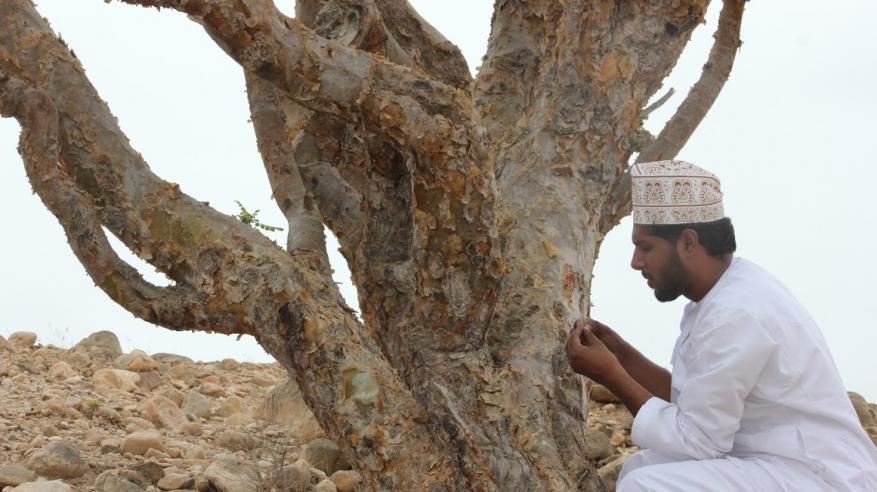 المعشني: شجرة اللبان من أبرز المعالم السياحية في محافظة صلالة.. والزوار يقبلون على الشراء