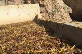 """بالفيديو: أسراب الجراد تغزو بعض المناطق بجنوب الشرقية .. و""""الزراعة"""" تصدر بيانا"""
