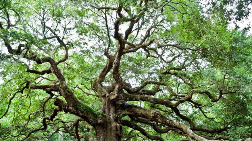 f25b13938 جريدة الرؤية العمانية - شاهد.. أغلى 7 أشجار في العالم
