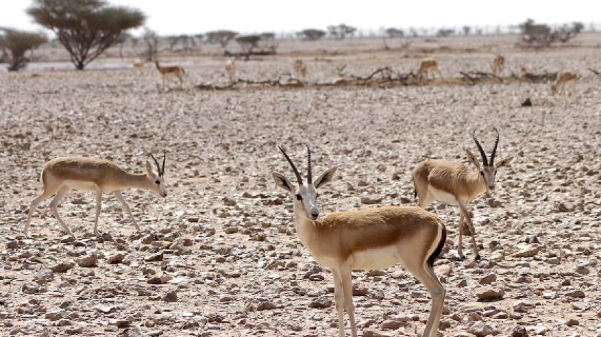 مشروع إكثار غزال الريم بمحمية الكائنات الحية 0