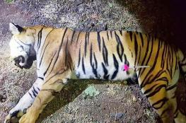 القضاء على نمر بعد قتله أكثر من 10 في الهند