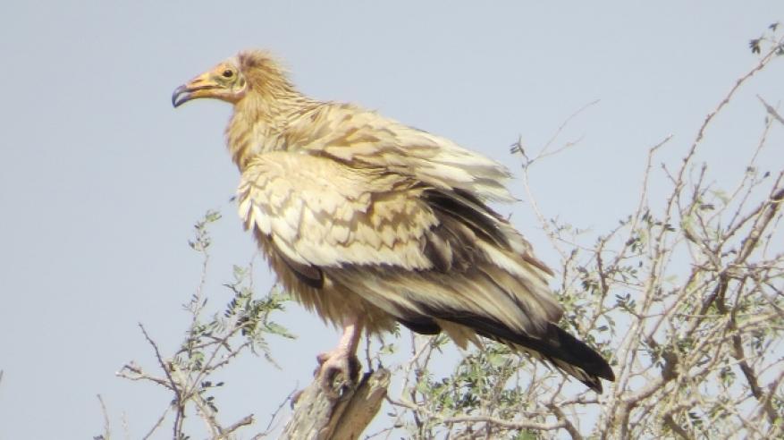 النسر المصري (Egyptian vulture)  (2)