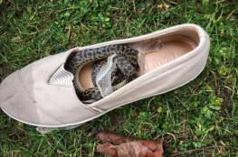 ثعبان سافر إلى 3 قارات داخل حذاء امرأة