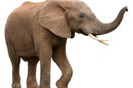 واشنطن تجيز استيراد أعضاء الفيلة وتثير الانتقادات