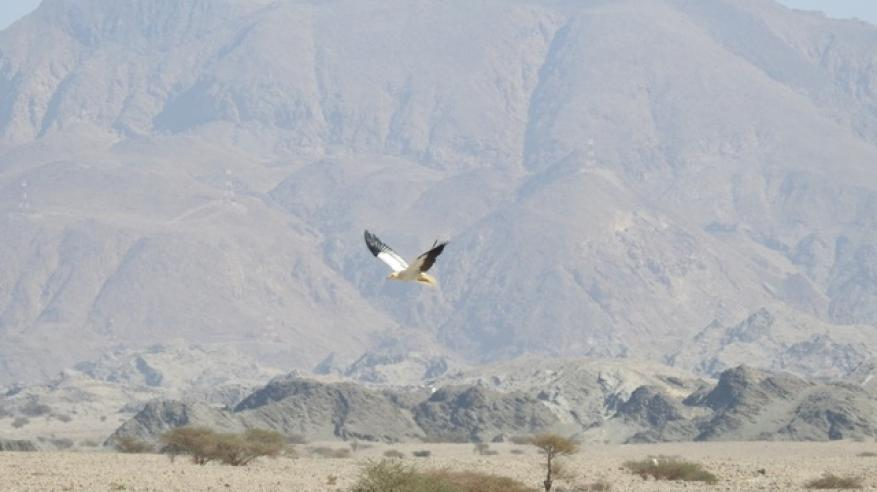ESO - Egyptian Vulture Release (1)