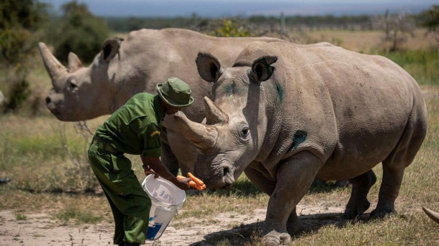 northern-white-rhino-1