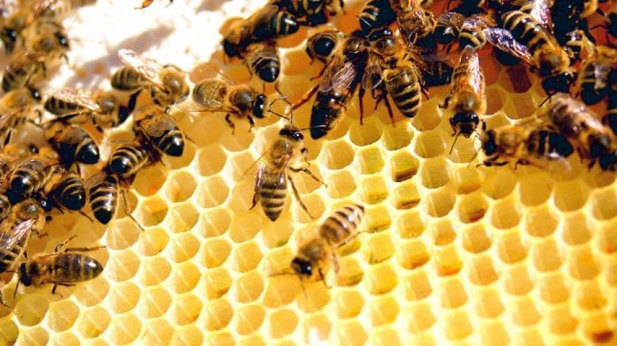 """بالفيديو.. النحل يقوم بأساليب دفاعية """"غير معقولة"""" لصد هجمات الدبابير"""
