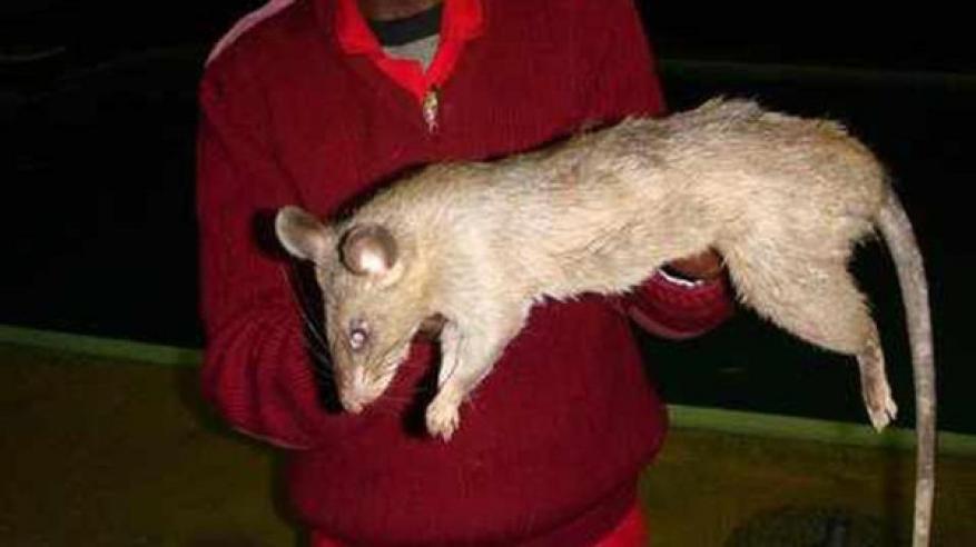 فئران عملاقة تلتهم طفلة حية
