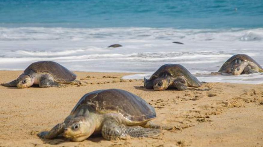 العثور على 300 سلحفاة مهددة بالانقراض نافقة قبالة ساحل المكسيك