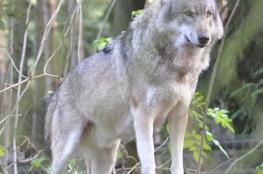 مصرع ذئب نادر أُبرح ضربا في بنجلاديش