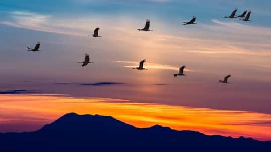 مسح الطيور المهاجرة في الوسطى يكشف عن 300 ألف طائر من 80 نوعا