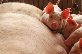 الصين تعلن بؤرة جديدة لحمى الخنازير الأفريقية والفيروس ينتشر