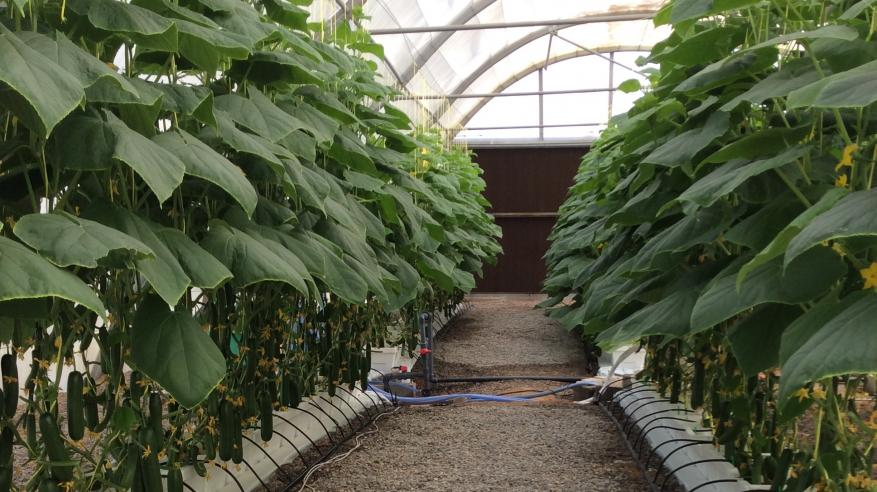 نبات المبردة درجة الحرارة 22 مئوية يظهر فيه صحة النبات في الصيف (2)
