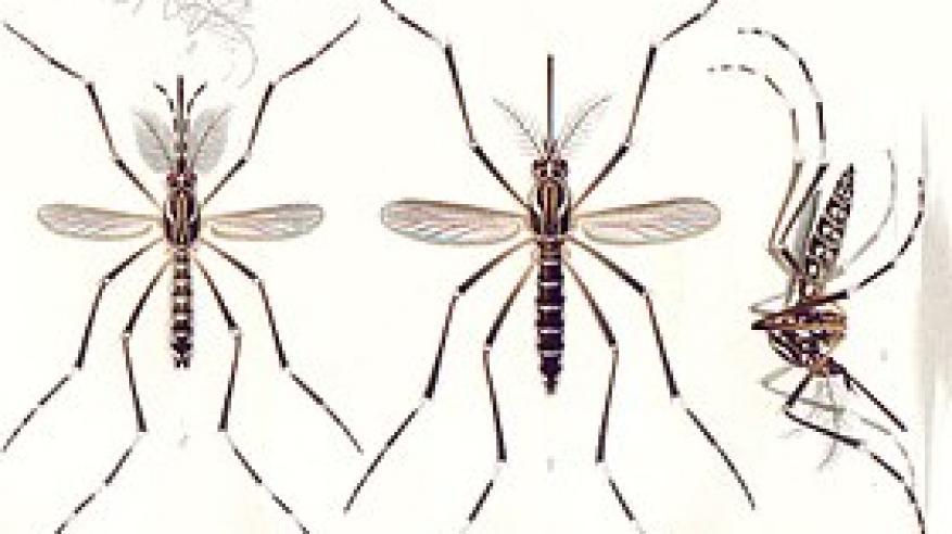280px-Aedes_aegypti_E-A-Goeldi_1905