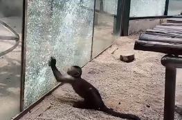 بالفيديو.. قرد يهشم زجاج قفصه بالحجارة