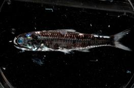 معجزة علمية: الأسماك ترى الألوان في الظلام